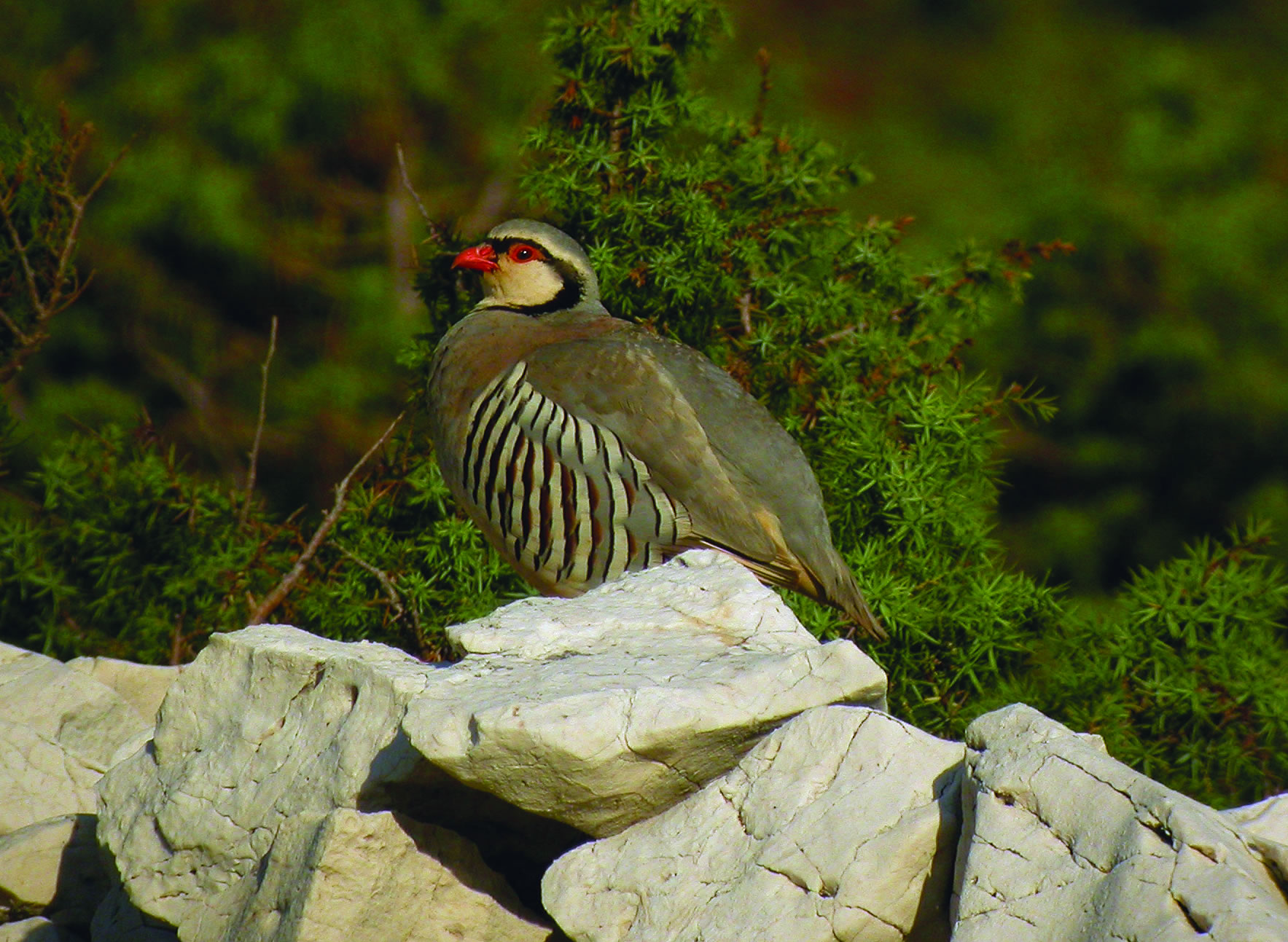 alectoris graeca - rock partridge